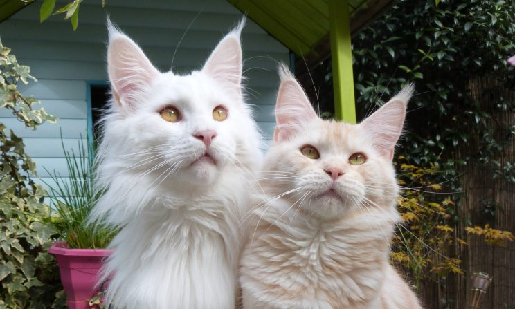 Chatterie Coon Toujours , Mastok et Narnia, couple Maine Coon mâle blanc et maine coon femelle red silver blotched tabby, jardin