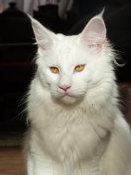 Chatterie Coon Toujours, Mastok, Maine Coon mâle blanc, gros gabarit, jolie collerette, yeux cuivrés, regard sauvage, lynx tips, museau carré