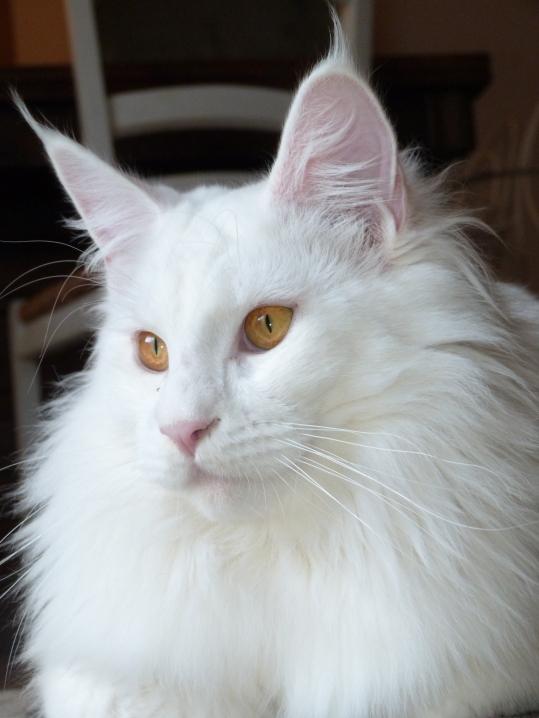 Chatterie Coon Toujours, Mastok, , Maine Coon mâle blanc, yeux cuivrés, belle collerette