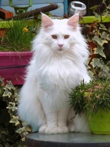 Chatterie Coon Toujours, Mastok, , Maine Coon mâle blanc, yeux cuivrés, belle collerette, grosses pattes, jardin