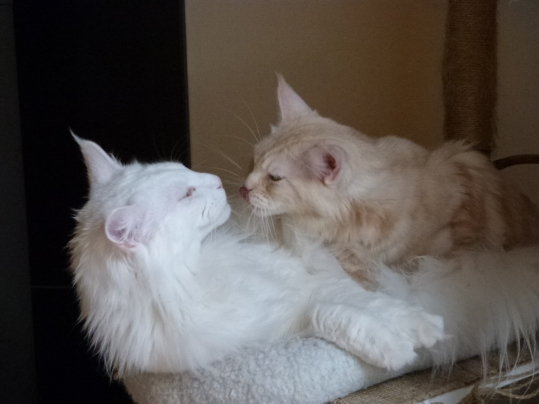 Mastok et Narnia, Chatterie Coon Toujours, Couple Maine coon mâle blanc et femelle red silver blotched tabby