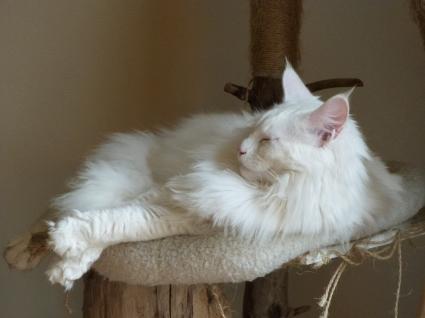 Chatterie Coon Toujours, Mastok, Maine Coon mâle blanc, gros gabarit, grosses pattes, jolie collerette