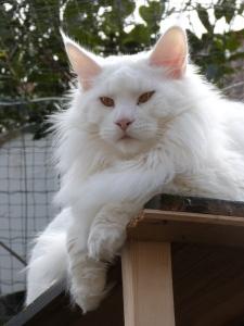 Chatterie Coon Toujours, Mastok, Maine Coon mâle blanc, gros gabarit, grosses pattes, crinière de lion, yeux cuivrés