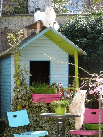 Mastok et Narnia, Chatterie Coon Toujours, Couple Maine coon mâle blanc et femelle red silver blotched tabby, jardin extérieur