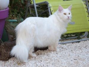 Chatterie Coon Toujours, Mastok, Maine Coon mâle blanc, gros gabarit, jolie collerette, yeux cuivrés, queue en panache, lynx tips, museau carré