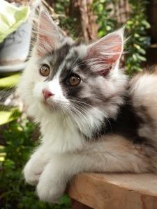 Oki-Doki, chatterie Coon Toujours, 3 mois, chaton femelle maine coon black tortie smoke et blanc