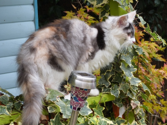 "Oki-Doki, chatterie Coon Toujours, 4 mois, chaton femelle maine coon black tortie smoke et blanc ""merle"""