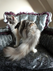 Oki-Doki, chatterie Coon Toujours, 8 mois, chaton femelle maine coon black tortie smoke et blanc (merle)