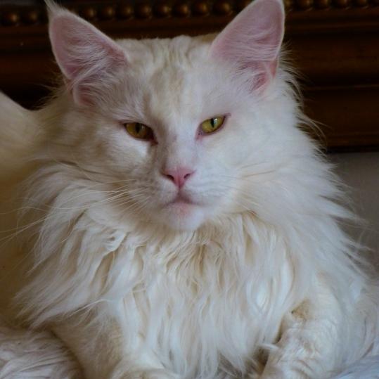 Chatterie Coon Toujours, Mastok, Maine Coon mâle blanc, gros gabarit, yeux cuivrés, lynx tips, museau carré, collerette