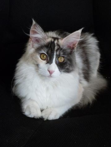 Oki-Doki, chatterie Coon Toujours, 8 mois, chaton femelle maine coon black tortie smoke et blanc (merle)
