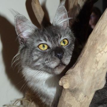 Chatterie Coon Toujours, Oui-Ja P, Black Smoke Polydactyle, maine coon femelle, regard sauvage, yeux cuivrés, lynx tips, queue en panache