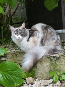 Oki-Doki, chatterie Coon Toujours, femelle maine coon black tortie smoke et blanc (merle)