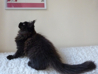 Chatterie Coon Toujours, Patchouli, chaton maine coon femelle noire