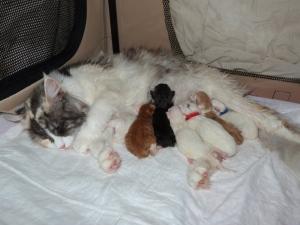 Oki-Doki et ses chatons, maine coon