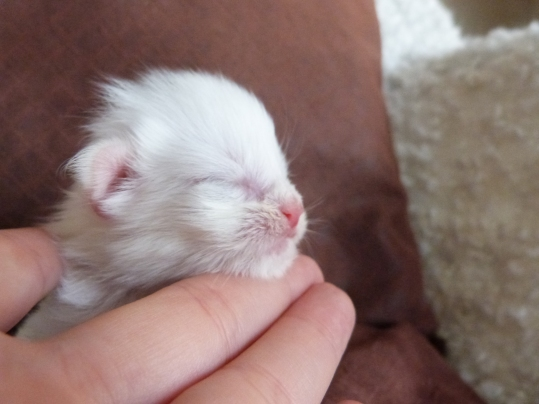 Polka de Coon Toujours, chaton maine coon femelle blanche