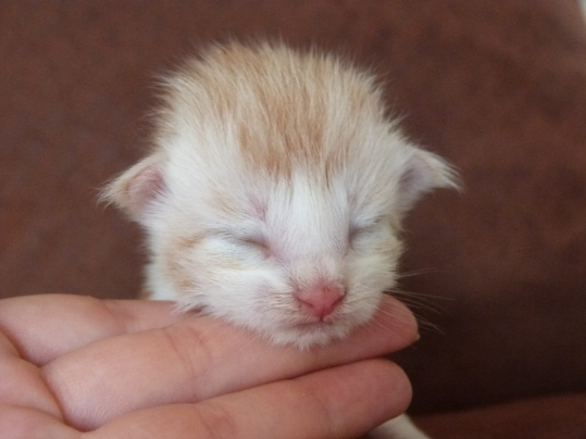 Perceval, chaton maine coon mâle, red silver blotched tabby et blanc