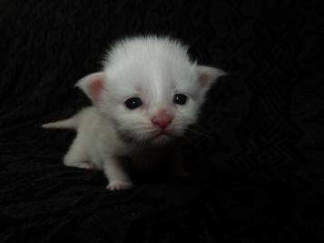 Pétra de Coon Toujours, chaton maine coon femelle de deux semaines, blanche