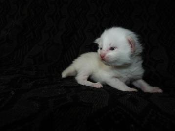 Phoenix de Coon Toujours, chaton maine coon femelle, deux semaines, blanche