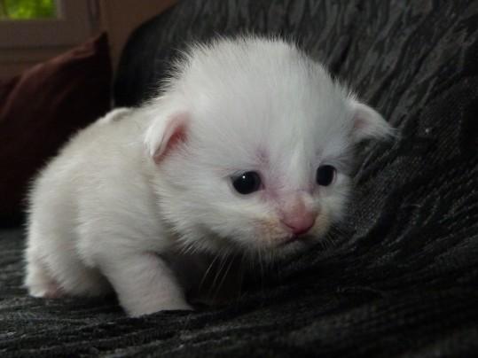 Polka de Coon Toujours, chaton femelle maine coon, deux semaines, blanche