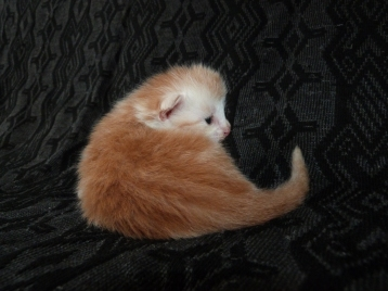 Perceval, chaton maine coon mâle, deux semaines, red silver blotched tabby et blanc