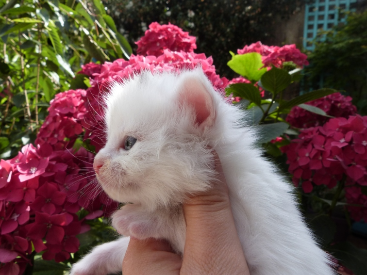 Polka de Coon Toujours, chaton femelle maine coon, blanche, 3 semaines