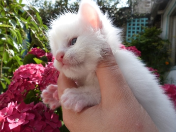Petra de Coon Toujours, chaton femelle maine coon, trois semaines, blanche