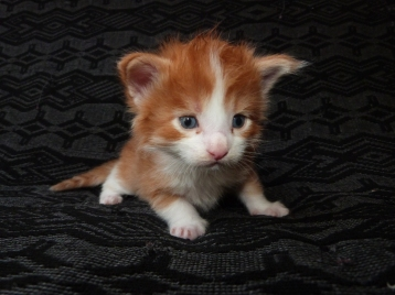 Pharaon de Coon Toujours, chaton maine coon mâle, red mackerel taby et blanc, trois semaines