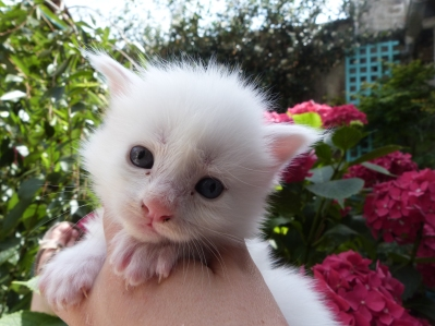 Phoenix de Coon Toujours, chaton femelle maine coon, trois semaines, blanche