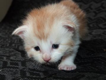 Perceval de Coon Toujours, chaton mâle maine coon, trois semaine, red silver blotched tabby et blanc