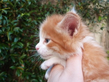 Pharaon de Coon Toujours, chaton maine coon mâle, 4 semaines, red mackerel tabby et blanc