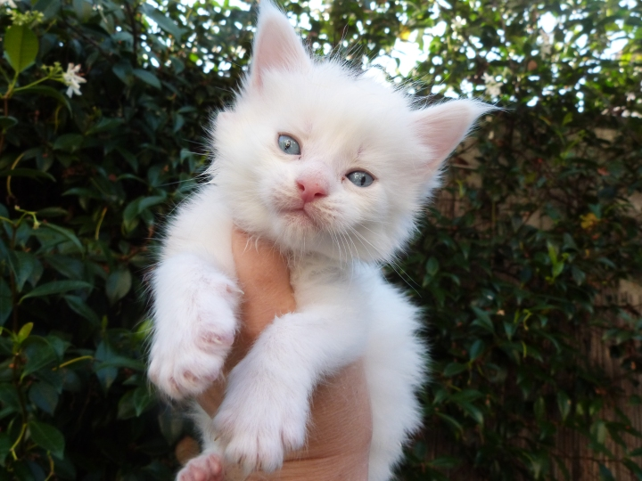 Pin-Up de Coon Toujours, chaton femelle maine coon, blanche yeux bleus, 4 semaines