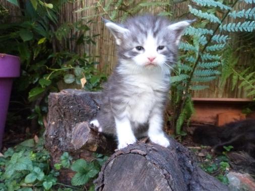 Patton de Coon Toujours, chaton mâle maine coon, black silver mackerel tabby et blanc, 4 semaines