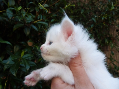 Polka de Coon Toujours, chaton femelle maine coon, 4 semaines, blanche
