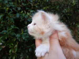 Perceval, chaton maine coon mâle, 4 semaines, red silver blotched tabby et blanc