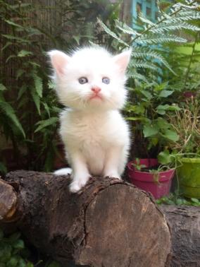 Pandora de Coon Toujours, chaton femelle maine coon, blanche aux yeux vairons, 4 semaines