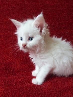 Pandor'a de Coon Toujours, chaton femelle maine coon, blanche yeux bleus, cinq semaines