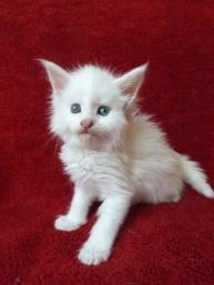 Pandora de Coon Toujours, chaton femelles maine coon, cinq semaines, blanche yeux vairons