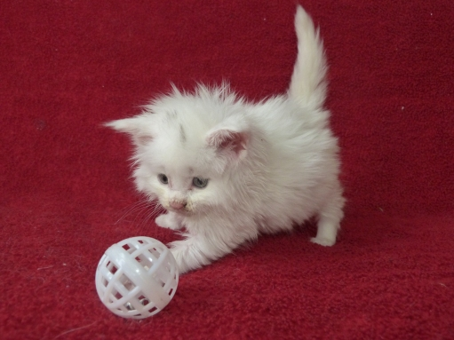 Polka de Coon Toujours, chaton femelle maine coon, 5 semaines, blanche