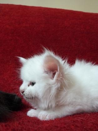 Petra (Juliette) de Coon Toujours, chaton femelle maine coon, 5 semaines, blanche