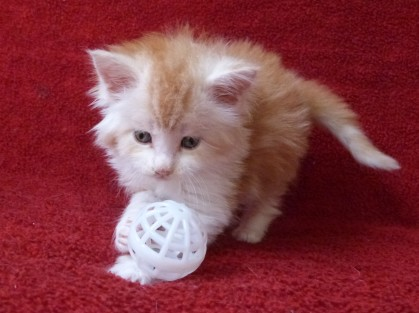 Perceval de Coon Toujours, chaton mâle maine coon, 5 semaines, red silver blotched tabby et blanc