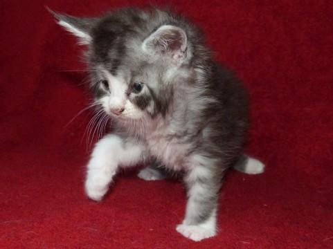 Patton de Coon Toujours, chaton maine coon mâle de 5 semaines, black silver mackerel tabby et blanc