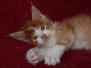 Pharaon de Coon Toujours, chaton maine coon mâle, cinq semaines, red mackerel tabby et blanc
