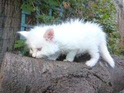 Pandora de Coon Toujours, chaton femelle maine coon femelle, blanche yeux vairons, 6 semaines