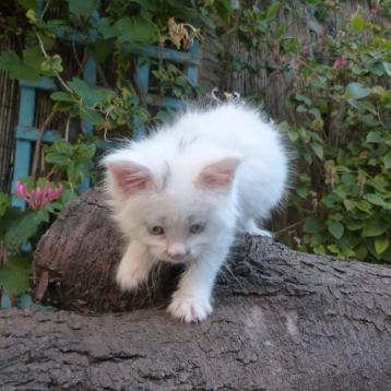 Pandor'a de Coon Toujours, chaton femelle maine coon, blanche yeux bleus, 6 semaines