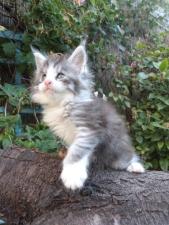 Patton de Coon Toujours, chaton maine coon mâle, black silver mackerel tabby et blanc, 6 semaines