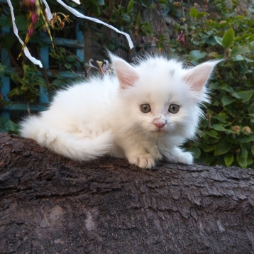 Polka de Coon Toujours, chaton femelle maine coon blanche, 6 semaines