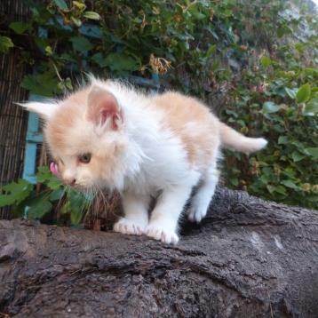 Perceval de Coon Toujours, chaton maine coon mâle, 6 semaines, red silver blotched tabby et blanc