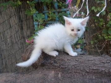 Pétra (Juliette) de Coon Toujours, chaton femelle maine coon, 6 semaines, blanche
