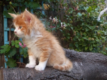 Pharaon de Coon Toujours, chaton maine coon mâle, red mackerel tabby et blanc, 6 semaines