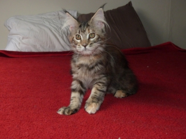 "Chatterie Coon Toujours, White Rock's Rosalie dite ""Zazou"", chaton femelle maine coon, 4 mois, brown torbie"